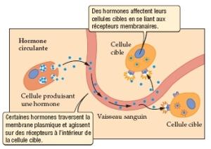 fonctionnement_hormones